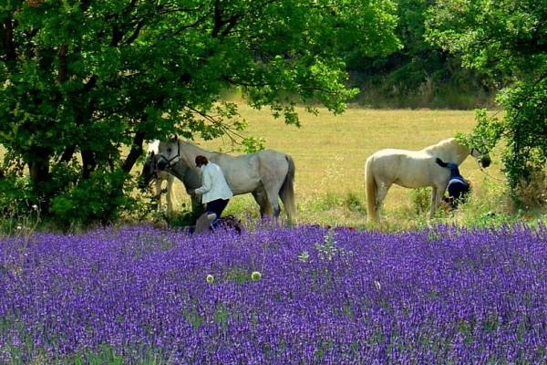 Equitation au milieu des champs de lavande