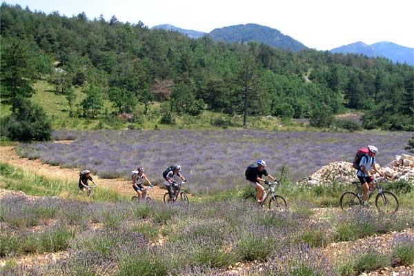 Vélo au milieu des champs de lavande